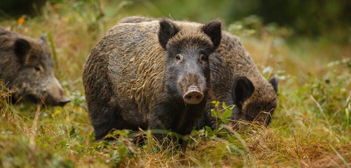 Die für Menschen ungefährliche Afrikanische Schweinepest tritt seit 2014 in den baltischen Staaten und in Polen auf – ausgehend von der Ukraine, Weißrussland und Russland. © Neil Burton / shutterstock.com