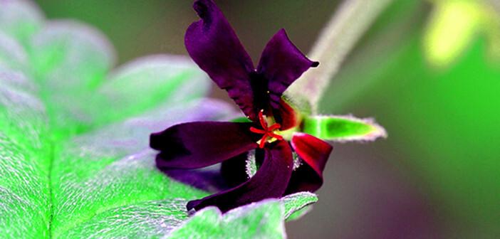 Kapland-Pelargonie wird zur Behandlung von Infektionen der oberen Atemwege angewendet. © Martin Fowler / shutterstock.com