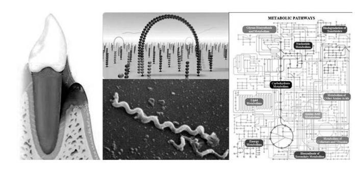 Probeentnahme aus Zahntasche, Illumina-Sequenzierung (Mitte oben), Treponema-Erreger in der Zahntasche (darunter), Metabolische Netzwerke. © HZI / Wagner-Döbler