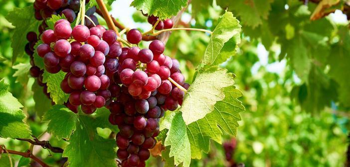 Resveratrol aus roten Weintrauben wirkte nicht anti-, sondern eher pro-oxidativ. © marako85 / shutterstock.com