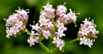 Die bekanntesten Heilpflanzen bei Ein- und Durchschlafstörungen sind Baldrian, Passionsblume, Melissenblätter und Hopfenzapfen sowie Lavendelöl. © martin fowler / shutterstock.com