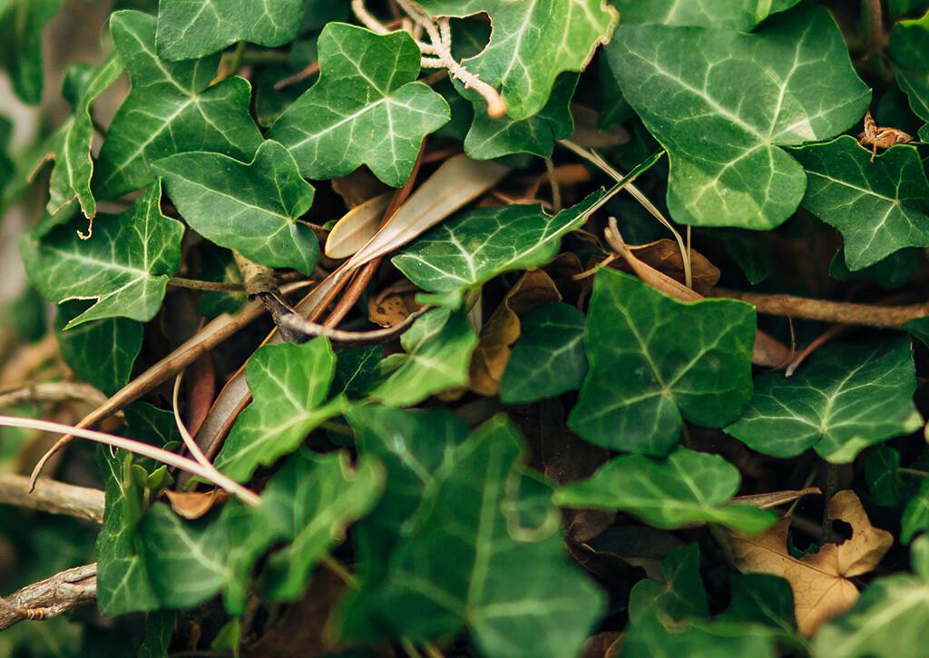 Efeu-Blätter sind wichtige Saponine-Vertreter. © ternadtochiy / shutterstock.com