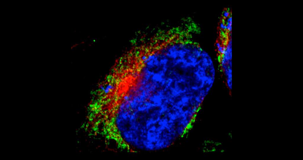Die Immun-Fluoreszenzaufnahme einer menschlichen Zelle zeigt das typische Netzwerk der MItochondrien (grün). Zum Vergleich sind der Zellkern in blau und ein anderes wichtiges Zellorganell, das Endoplasmatische Retikulum, in rot angefärbt. © AG Voos / Universität Bonn