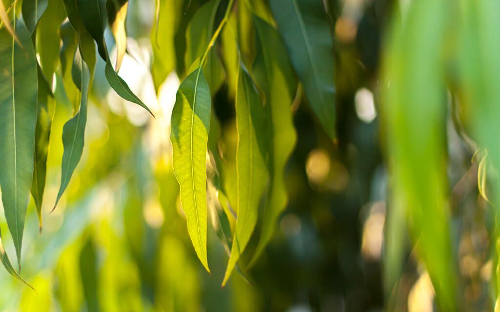 Gegen Husten und Schnupfen löst vor allem das ätherische Öl von Eukalyptus (Eucalyptus globulus) zähen Schleim. © The Art Friday / shutterstock.com