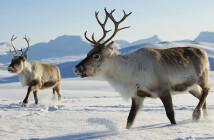 Bei den Lappen sagt man, dass jene Rentiere besser über den Winter kommen, die sich mit der Taigawurzel für die karge Zeit stärken. © Dmitry Chulov / Shutterstock.com