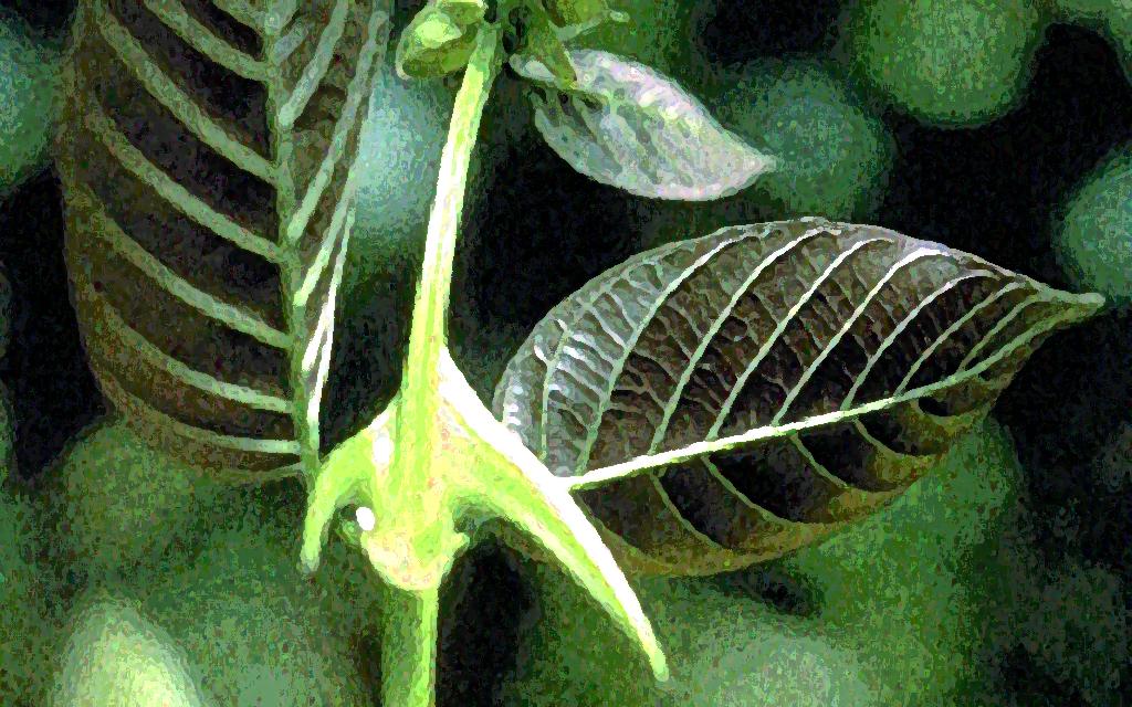 Die Dornen der Katzenkralle sind meist leicht sichelförmig gekrümmt und an der Basis der paarweise angeordneten Blätter gelegen.