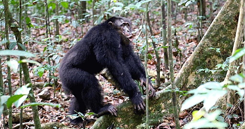 Schimpansen halten in Konflikten gegen Rivalen zusammen. © Liran Samuni