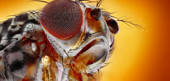 Allatostatin wird sowohl von Zellen im Gehirn als auch von Zellen im Darm der Taufliege produziert. © tomatito / shutterstock.com