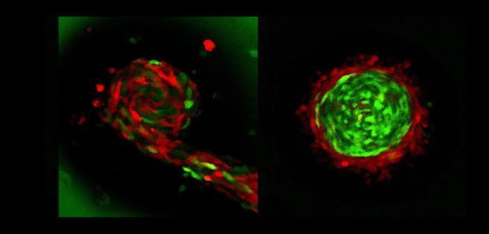 Zellgemische bei der Fruchtkörperbildung; Auf dem linken Bild sind rote und grüne Zellen schlank. Im rechten Bild wurden schlanke grüne Zellen mit fetten roten Zellen gemischt. © Prof. Dr. Markus Maniak