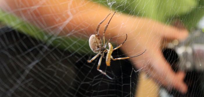 Spinnenseide ist der Schlüssel zur Wiederherstellung von geschädigtem Herzgewebe. © Universität Bayreuth