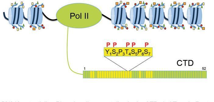 RNA Polymerase II: Die CTD in Wirbeltieren ist aus 52 Heptad-Wiederholungen mit einer spezifischen Konsensussequenz aufgebaut. Die Tyrosin-Reste in bestimmten Heptad-Wiederholungen werden für die Termination benötigt. © Helmholtz Zentrum München