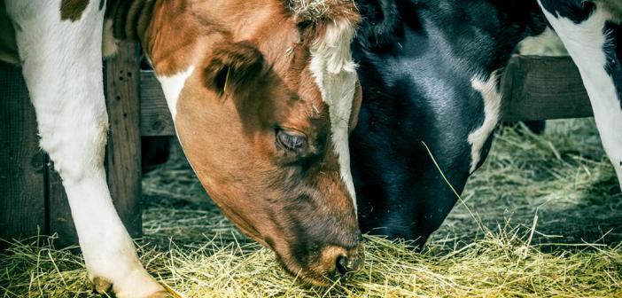 Die Zufuhr von Vitamin A bei der Fütterung der Tiere könnte gegen Kuhmilch-Allergie effektiv sein. © dwphotos / shutterstock.com