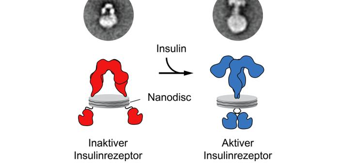 Bindet Insulin an den Insulinrezeptor verändert dieser seine Form von einer U- in eine T-förmige Struktur. © Gutmann et al.
