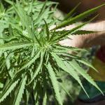 Hanfpflanze / Cannabis © Juan G. Aunion / shutterstock.com
