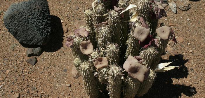 Hoodia gordonii wächst in der Kalahari-Wüste Südafrikas, trotz ihres Aussehens zählt sie nicht zur Familie der Kakteen. © Bundesamt für Naturschutz