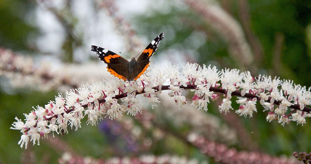Die Traubensilberkerze – Cimicifuga racemosa – ist die wichtigste Heilpflanze für die Wechseljahre. © Phil Robinson / shutterstock.com