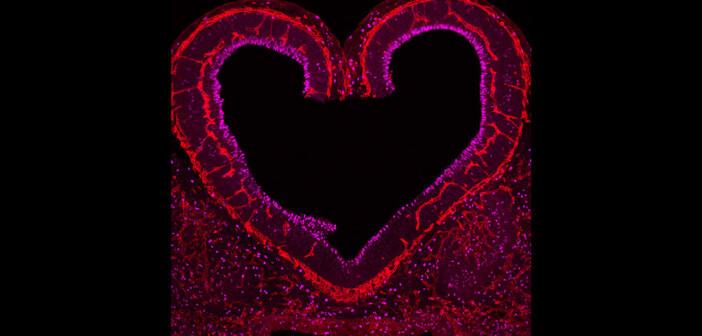 Sich vermehrenden Nervenzellen in enger Kommunikation mit Blutgefäßen (in Rot) in der Mäuse-Grosshirnrinde eines zehn Tage alten Embryos. © Cecilia Llao-Cid
