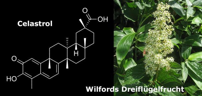Celastrol ist ein wirkungsvoller Pflanzenstoff, der aus der TCM-Heilpflanze Wilfords Dreiflügelfrucht gewonnen wird. © Qwert1234 / wikimedia / afcom.at