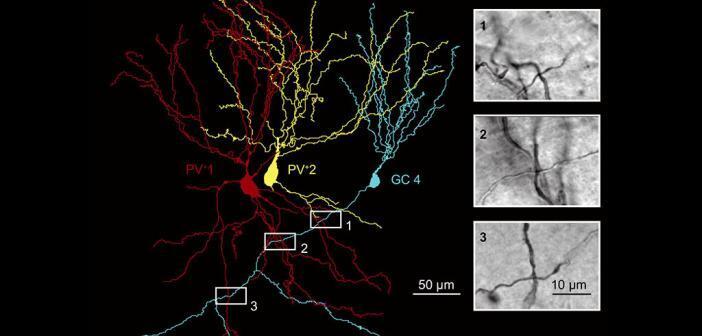 Digitale Rekonstruktion von zwei parvalbumin-exprimierenden Interneuroenen (rot und gelb) und einer Granularzelle (blau) und Visualisierung der synaptischen Verbindungen (schwarz-weiß Fotografien). © Espinoza et al.