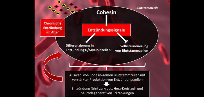 """""""InflammAging"""" bewirkt eine dauerhafte Aktivierung von Cohesin-vermittelten Entzündungssignalen in Blutstammzellen des alternden Organismus. © Kerstin Wagner (Grafik) / FLI (Quelle: u.a.pixabay.de)"""