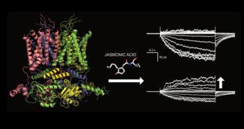 3D-Modell des GORK Kalium-Ionenkanals aus Schließzellen von Arabidopsis thaliana. Wird die Pflanze verwundet, startet in den Schließzellen die Jasmonsäure-Signalkette, die den GORK-Kanal aktiviert. © Dirk Becker