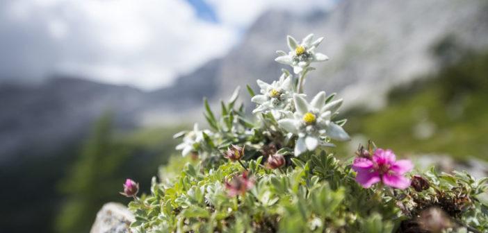 Leontopodium alpinum – das Alpen-Edelweiß © Nadine Hofer / shutterstock