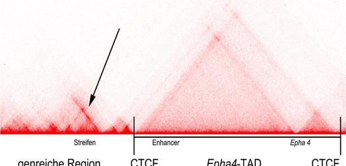 """""""Heat Map"""" mit einem Teil der Struktur des Epha4-Locus. © V. Heinrich / MPIMG"""