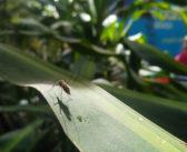 Mückenschutz für Reisende gegen das Ross-River-Virus in Australien