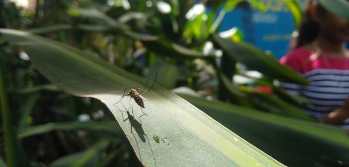 Ross-River-Virus durch Mücken übertragen. © Manju Mandavya / shutterstock.com