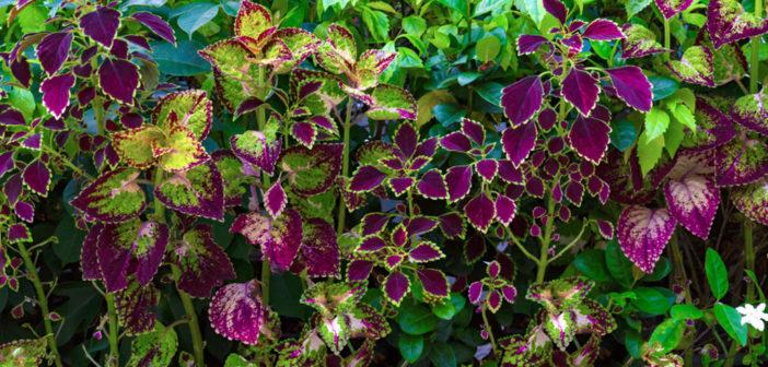 Forskolin aus der indischen Buntnessel –Coleus forskohlii – hat viele positive gesundheitliche Effekte. © warat42 / shutterstock.com