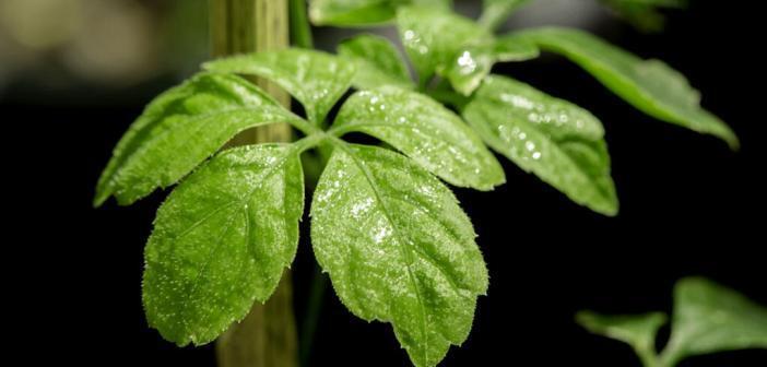 Jiagulan / Gynostemma pentaphyllum (Thunb.) Makino / 5-Finger-Ginseng © wasanajai / shutterstock.com