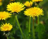 Löwenzahn – eine Heilpflanze mit Potenzial gegen Krebs