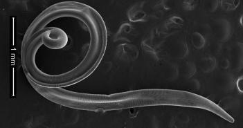 Thelazia callipaeda – Augenwurm (Nematoden) – verursacht Thelaziose. © Wilfried Lebon / CC BY 4.0 / wikimedia