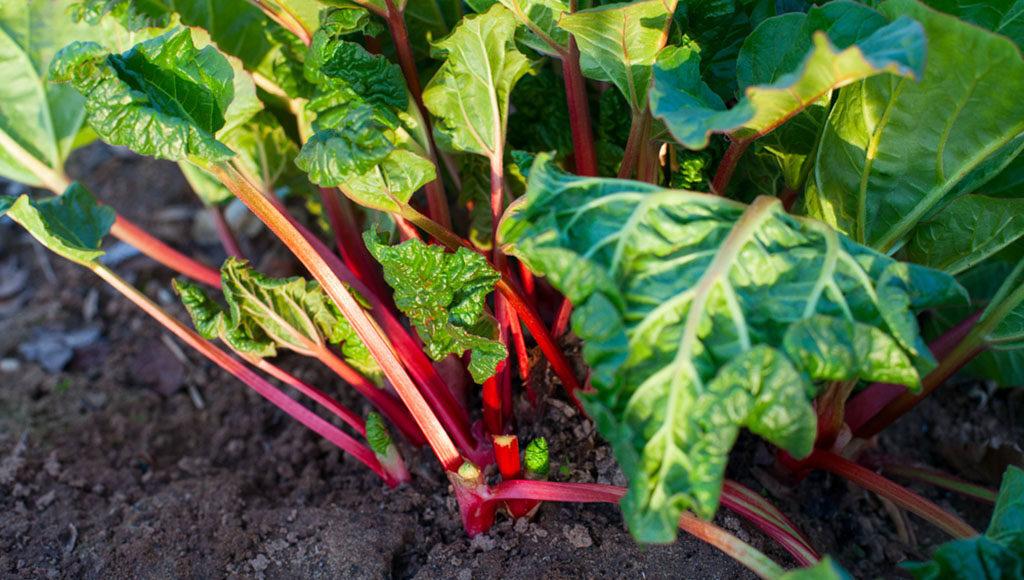 Rhabarber – süßes, gesundes Gemüse. © Diana Taliun / shutterstock.com