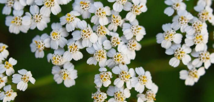 Gemeine Schafgarbe – Achillea millefolium – eine vielseitige Arzneipflanze © ingae / shutterstock.com