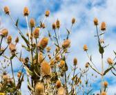 Wilde Karde gegen Borreliose – große Hoffnung im Kampf gegen Borrelien