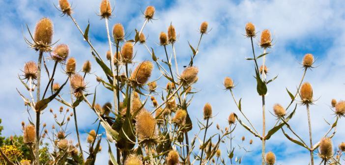 Der Hoffnungsträger Wilde Karde gegen Borreliose wirkt als Heilpflanze bei verschiedenen Beschwerden. © TinasDreamworld / shutterstock.com