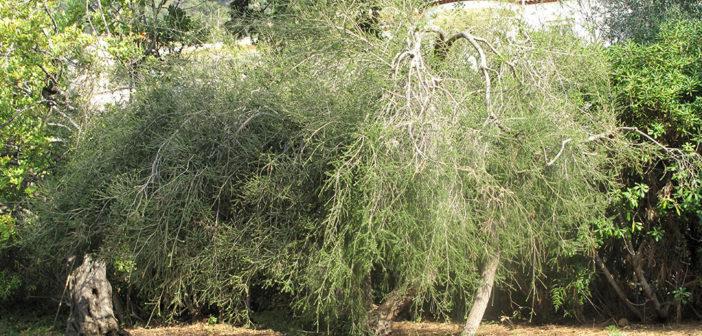Australischer Teebaum (Melaleuca alternifolia) © Tangopaso / wikimedia