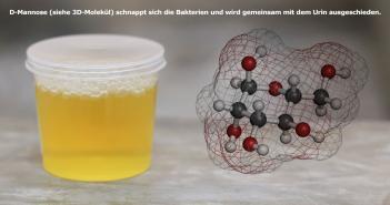 D-Mannose-Bakterien-Komplexe werden über den Urin ausgeschieden. © molekuul_be / MR. KHATAWUT / shutterstock.com