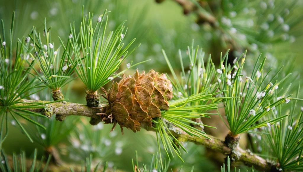 Der Lärchenextrakt Taxifolin aus der Europäischen Lärche wird auch als natürlichesAntibiotikum eingesetzt. © Ioana Rut / shutterstock.com