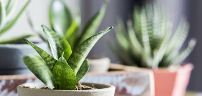 Fokus Zimmerpflanzen Raumluft: Zahlreiche Arten erhöhen die Luftfeuchtigkeit und verbessern die Luftqualität. © Myimagine / shutterstock.com