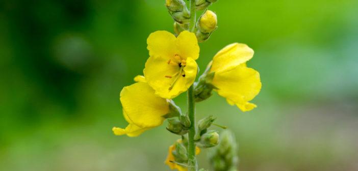 Die Königskerze ist eine wirksame Heilpflanze, die vor allem auch bei Erkältung sowie Beschwerden der Atemwege und Schleimhäute den Körper bei der Genesung unterstützt. © Iva Vagnerova / shutterstock.com