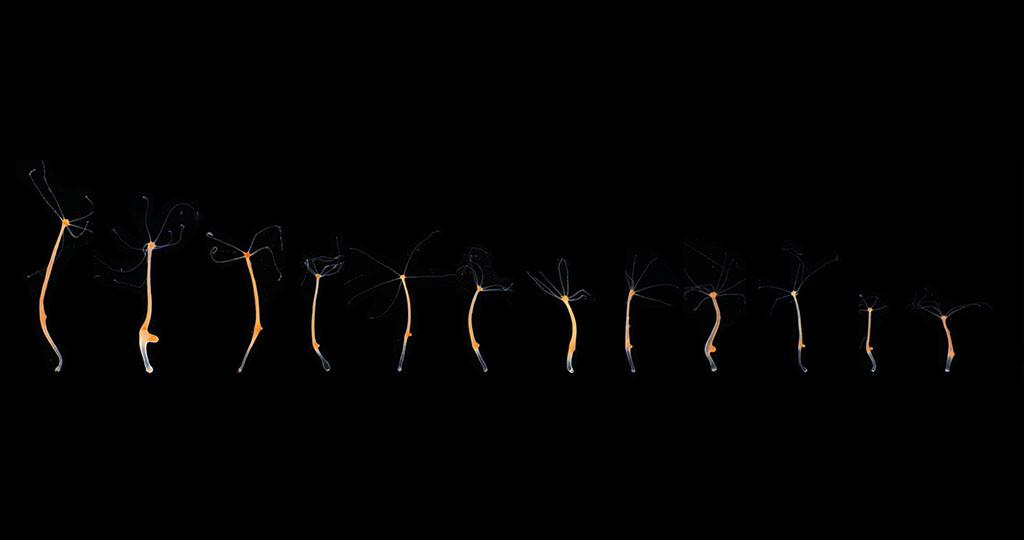 Einige Exemplare des Süßwasserpolypen Hydra, die den Einfluss von Umweltfaktoren und interner Regulierung auf das Größenwachstum verdeutlichen. © Dr. Benedikt Mortzfeld