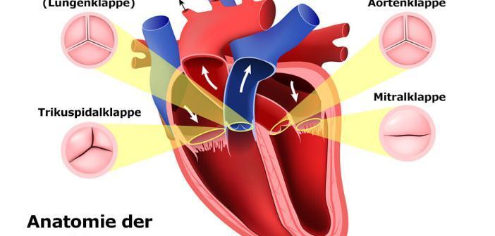 Anatomie der Herzklappen © Designua / shutterstock.com