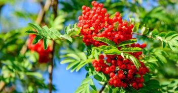 Die Früchte der Eberesche (Vogelbeere). © Imfoto / shutterstock.com