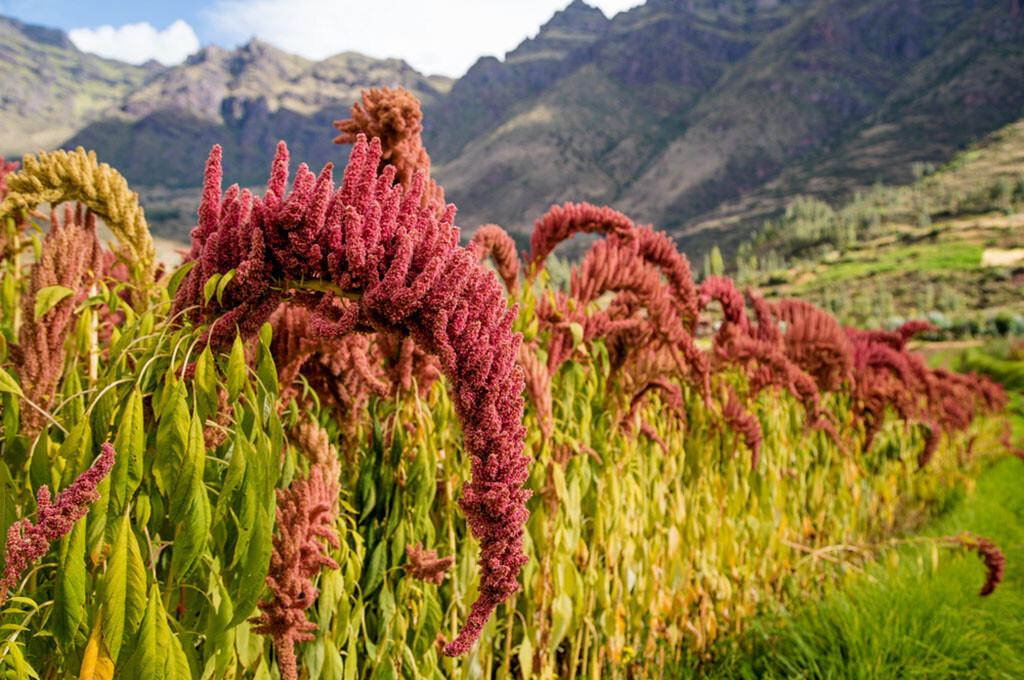 Amaranth-Felder in Peru © Davis Dorss / shutterstock.com