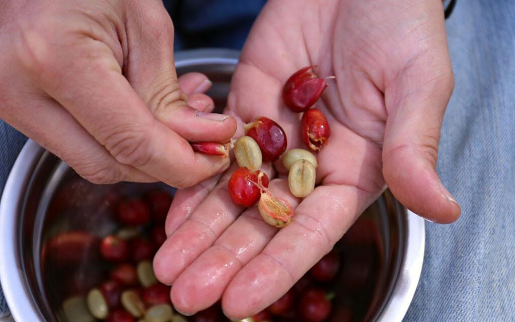 Ein Extrakt aus den Schalen und den Silberhäutchen der Kaffeebohnen könnten zukünftig genutzt werden. © akramer / shutterstock.com