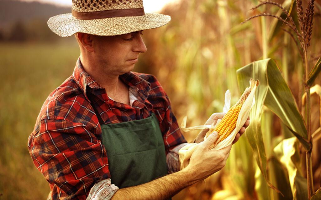 Mais ist nicht nur lecker in der Küche, sondern auch als Heilpflanze effektiv. © melhijad / shutterstock.com