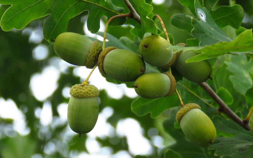 Stieleiche – Quercus robur. © Przemyslaw Muszynski / shutterstock.com