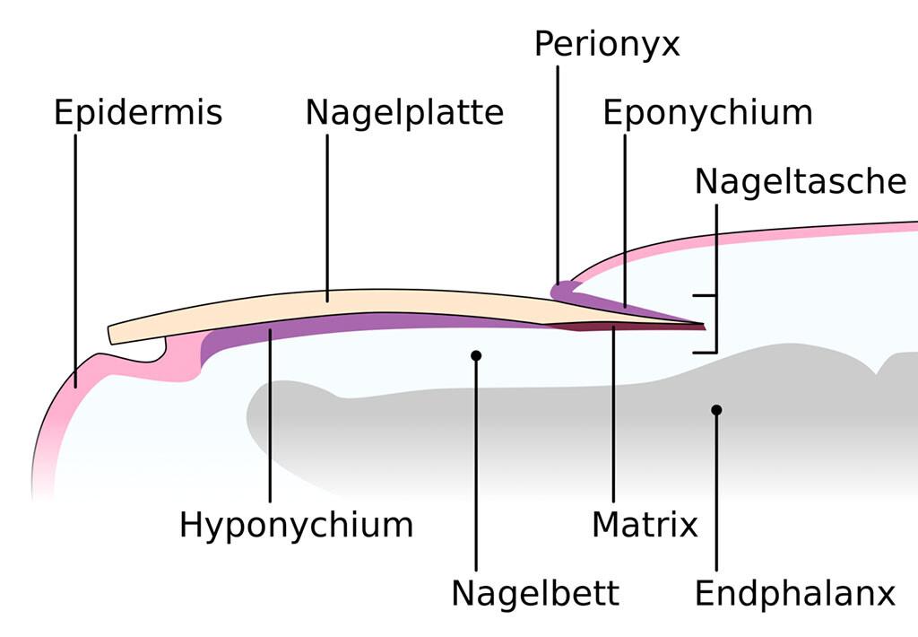 Der menschliche Nagel im Längsschnitt anatomisch dargestellt. © Accountalive / CC BY-SA 3.0 / wikimedia
